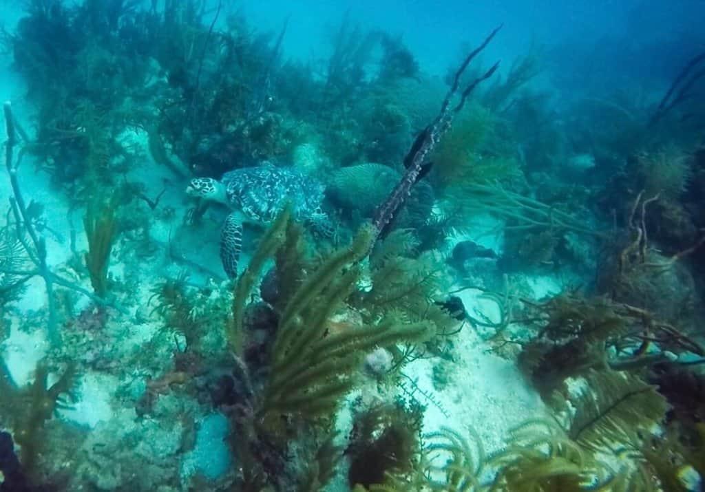 turtle in the ocean in utila