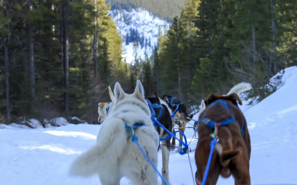 dogsledding in canmore is one the best things to do in Alberta