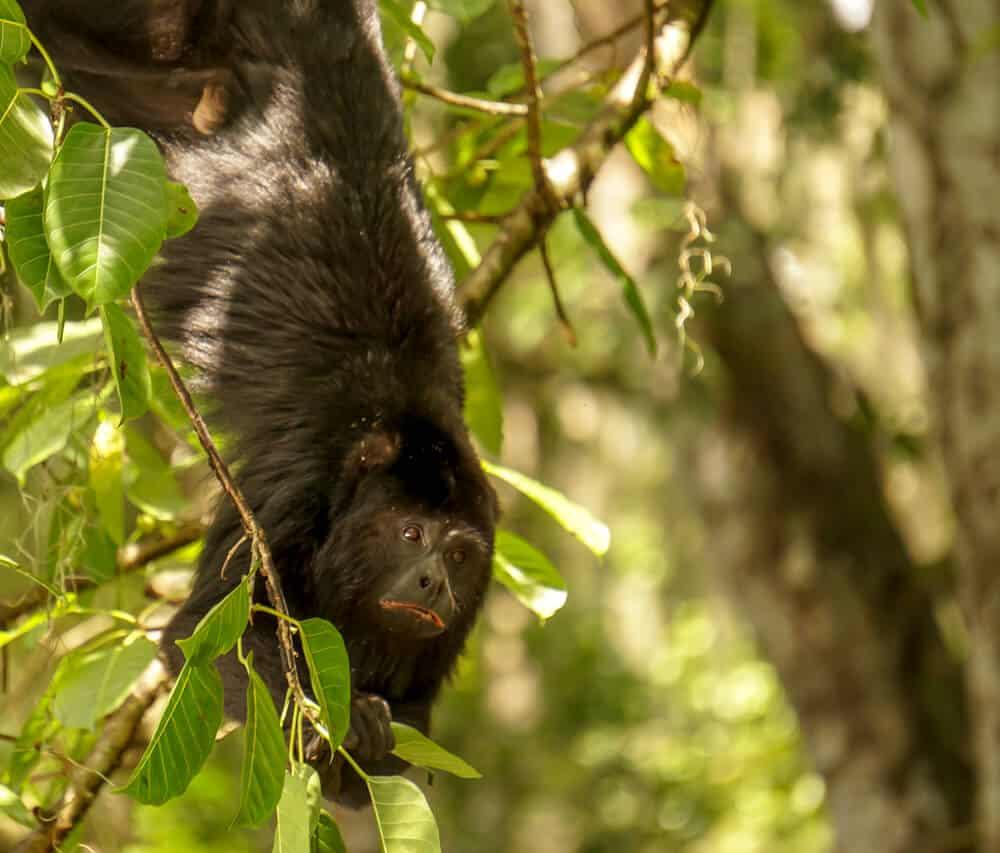 howler monkey in rio dulce guatemala