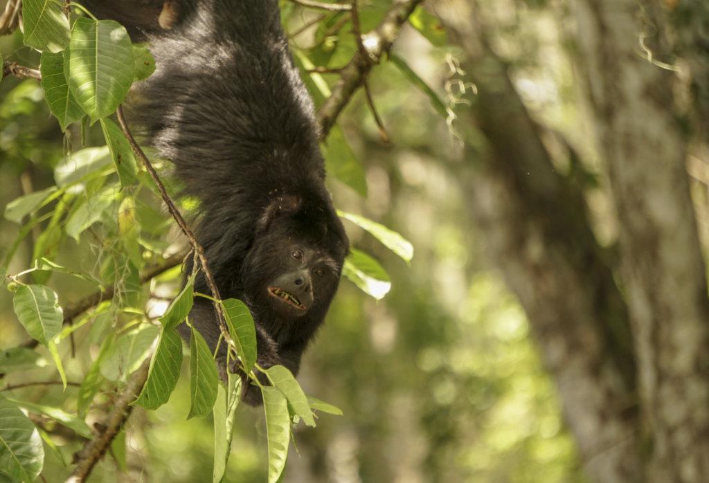 a howler monkey in costa rica