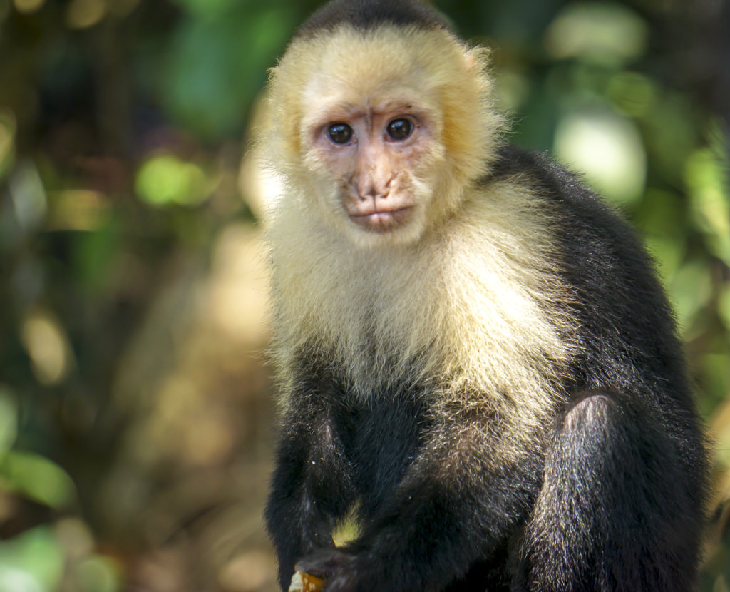 White faced monkey in Manuel Antonio National Park