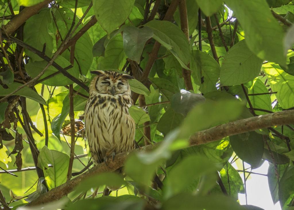 an owl in costa rica