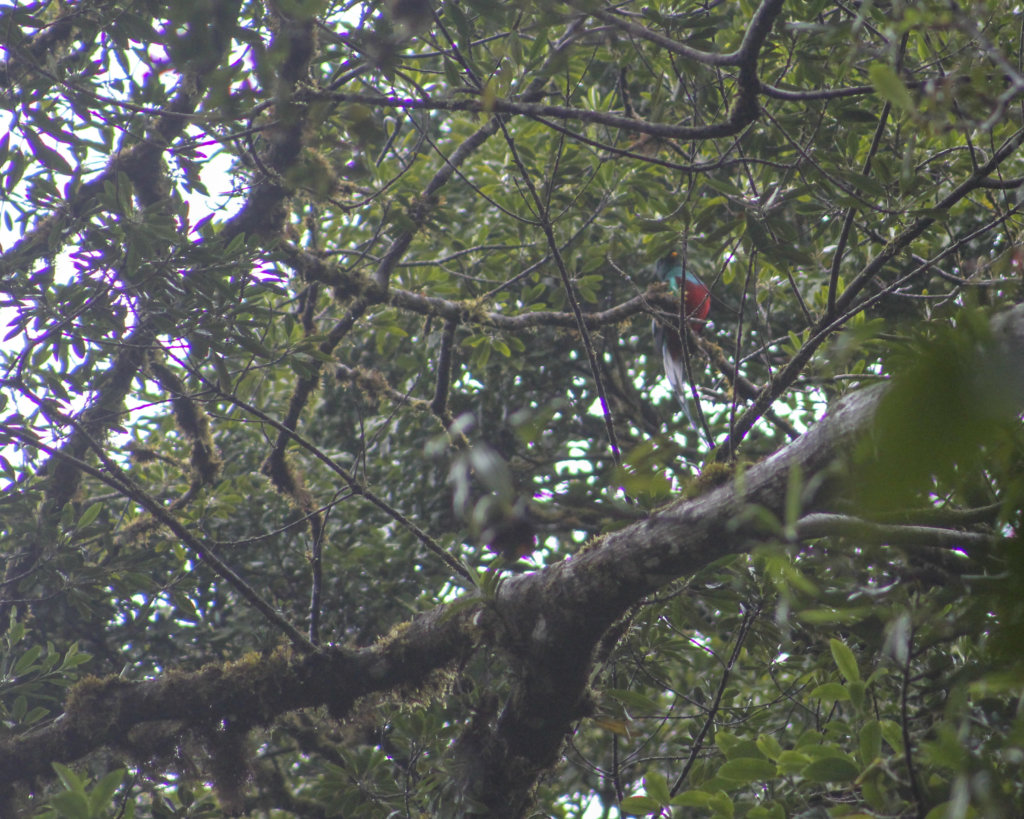 a quetzal in costa rica