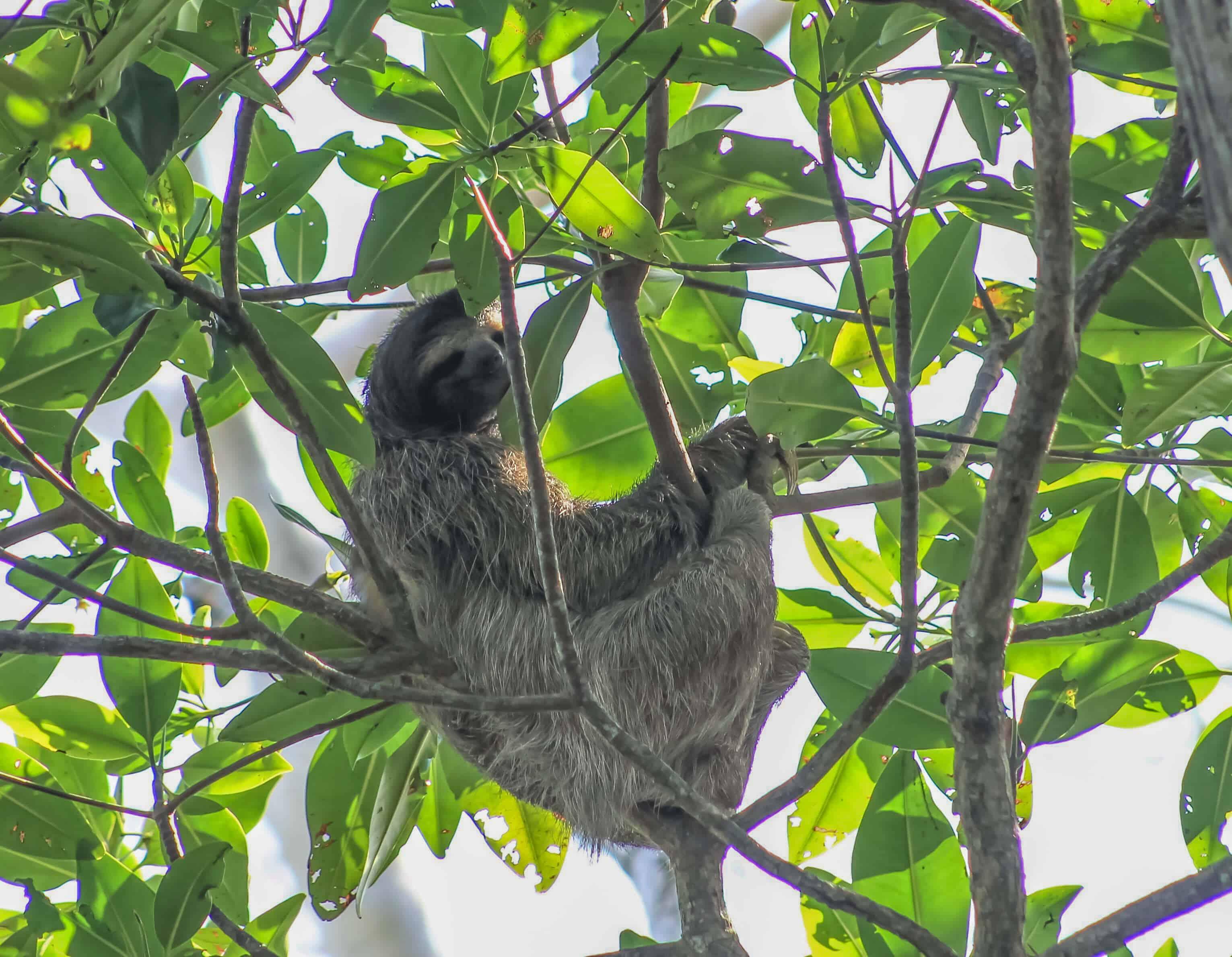 sloth costa rica mammals