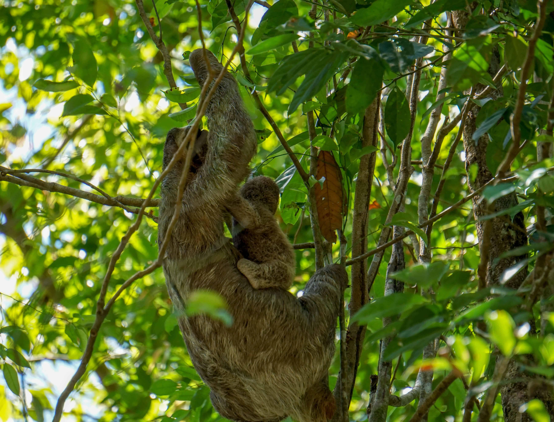 sloth on Costa Rica's pacific coast