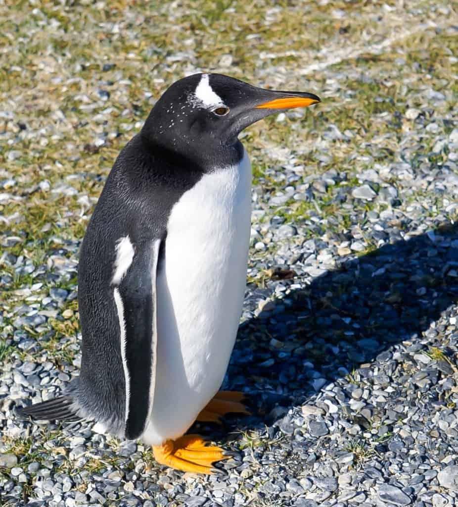 gentoo penguin in ushuaia argentina