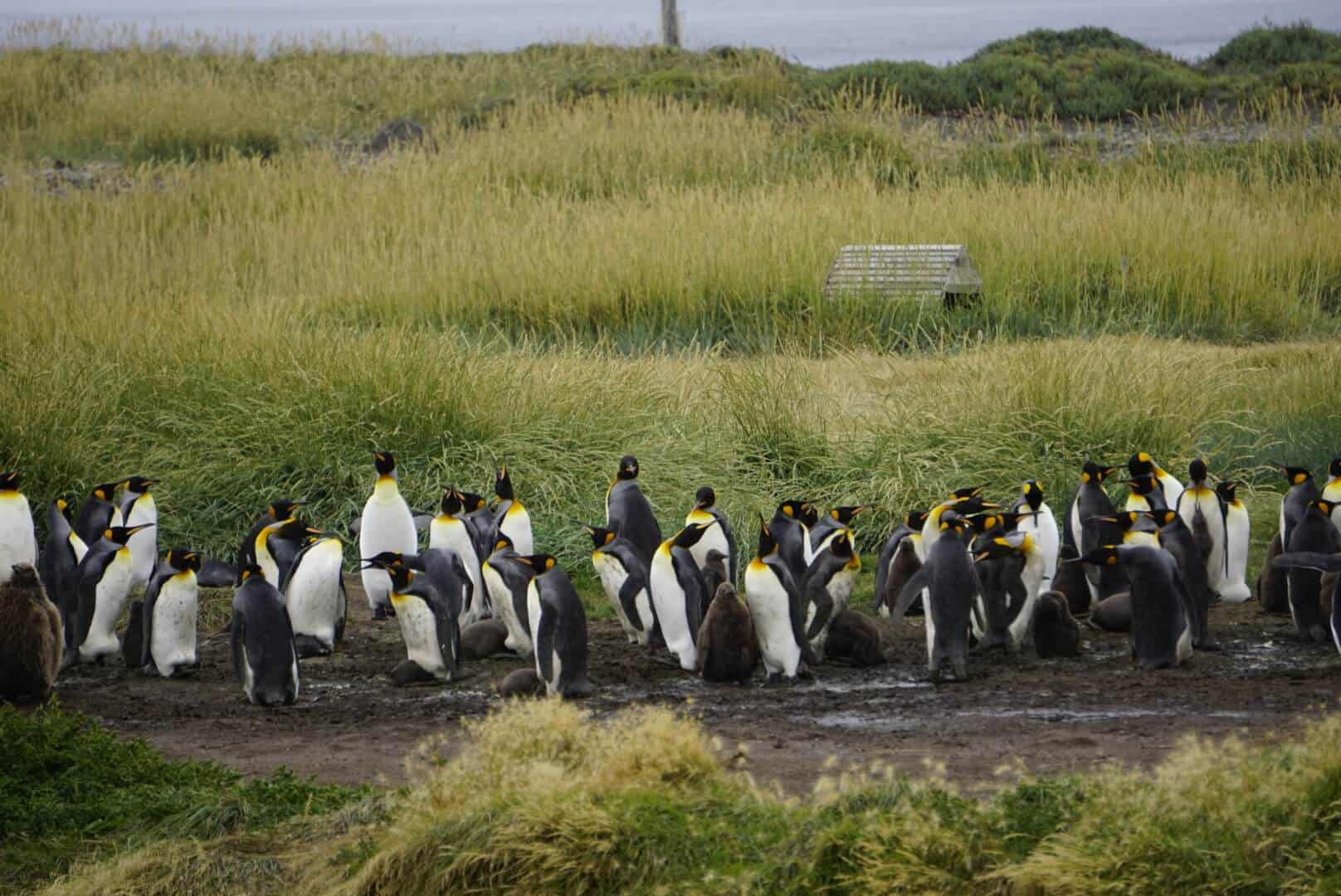 King Penguin Colony of Punto Arenas