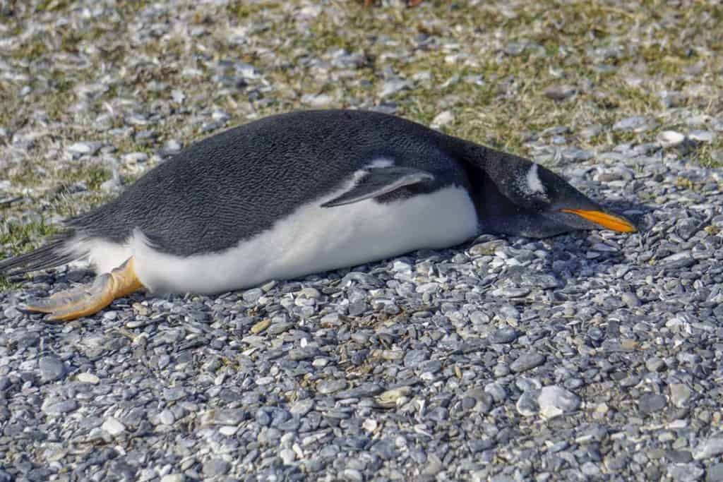 Gentoo penguin in Ushuaia