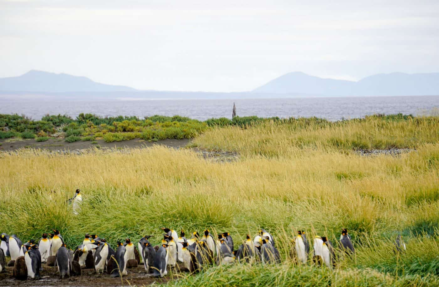 King Penguin Colony of Punto Arenas chile