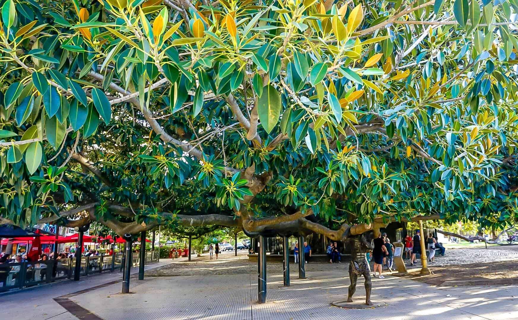 A giant 200 year old tree located in Gomero de la Recoleta