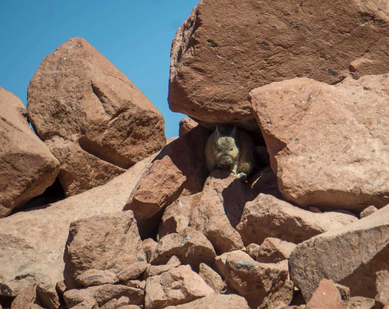 a wild viscacha hiding in the rocks