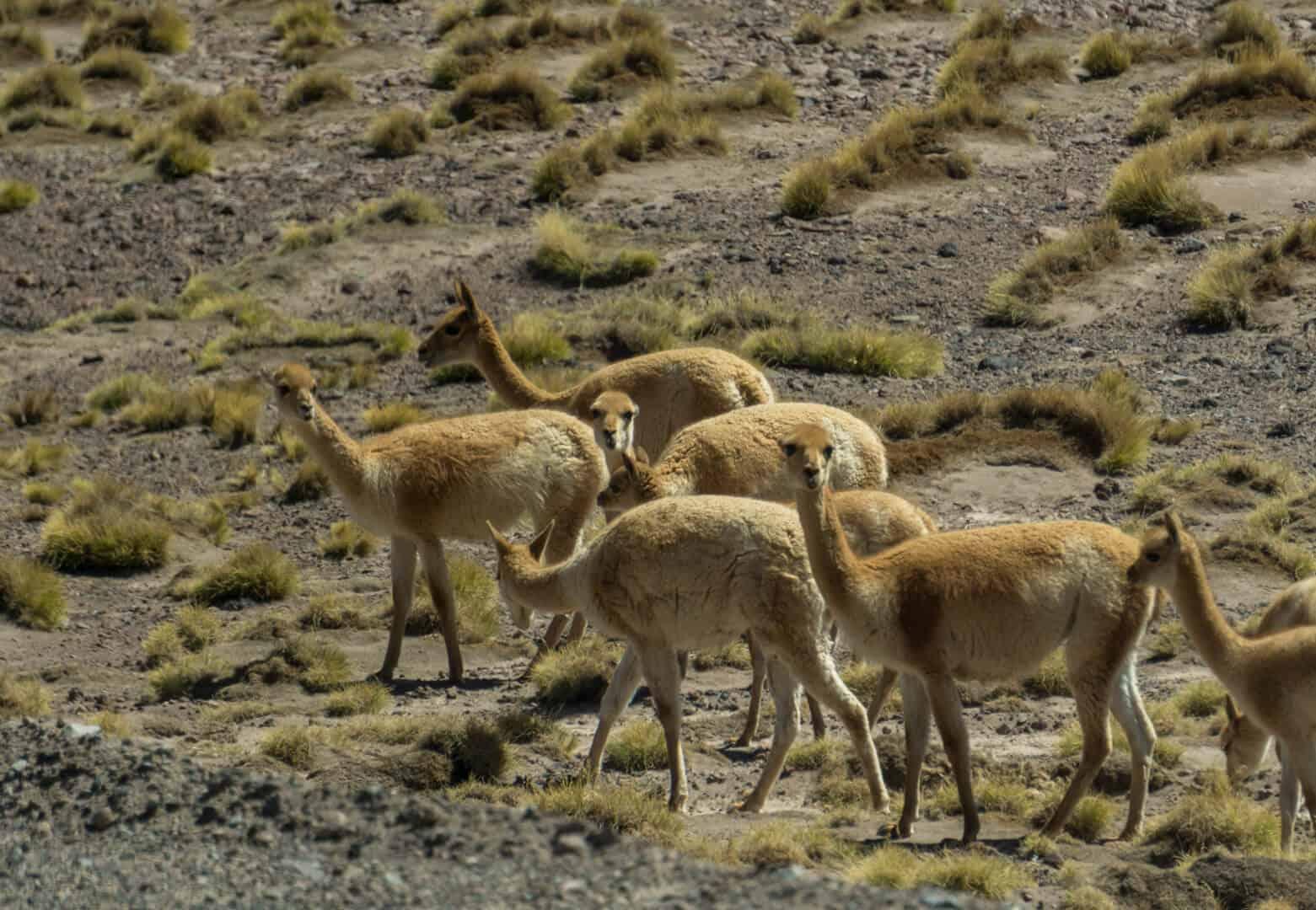 A pack of Vicuñas in the Atacama desert