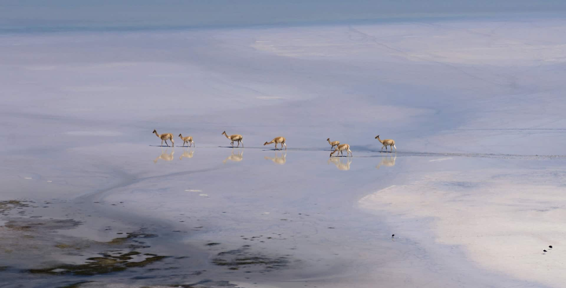 A pack of vicunas walking on the salt flats in San Pedro de Atacama