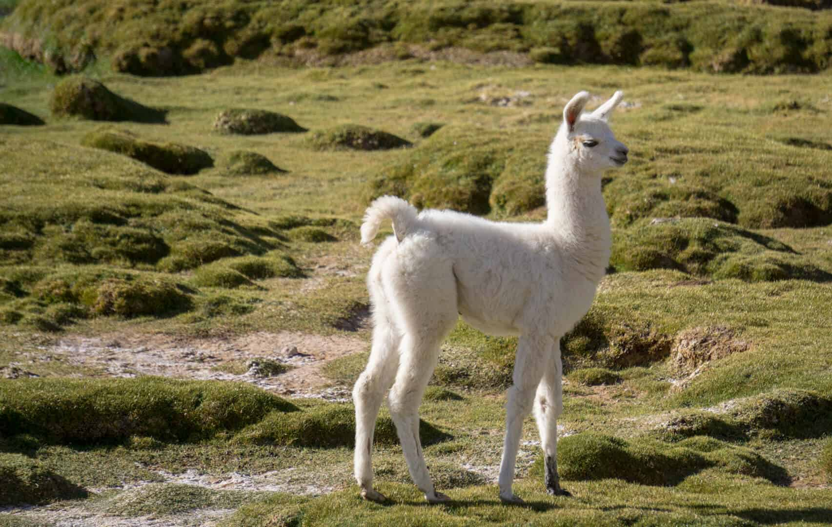Sweetest baby Llama in Bolivia