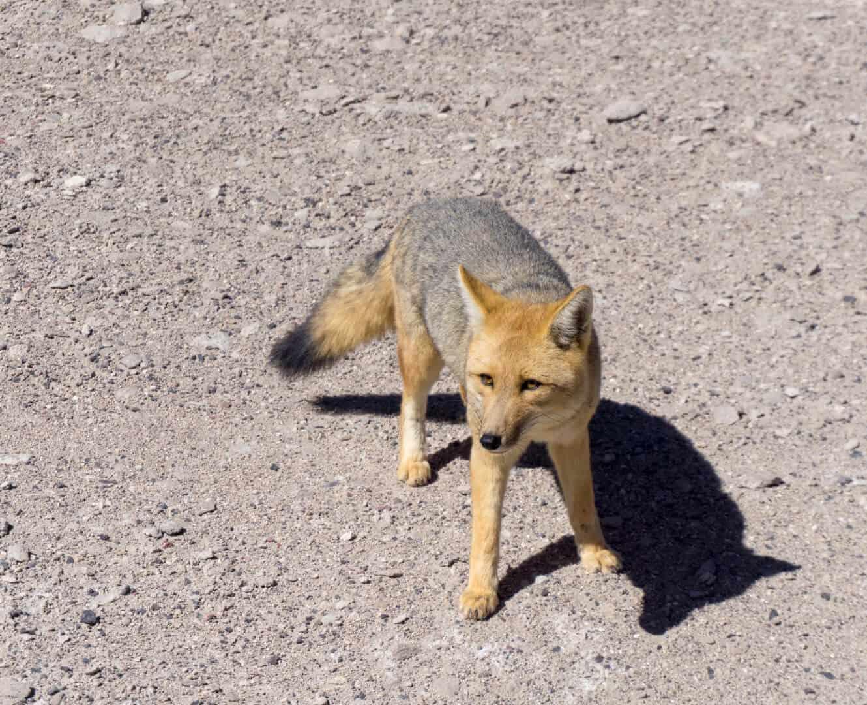 Fox at the Bolivian border