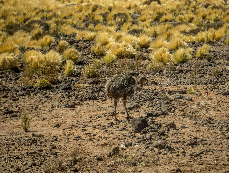 A wild ostrich in the Atacama Desert