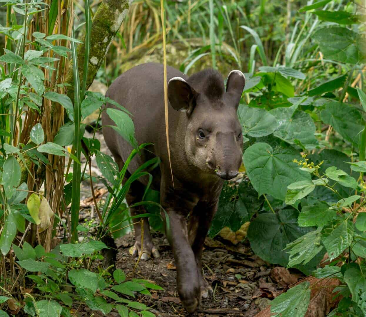 tapir while volunteering at la senda verde wildlife sanctuary