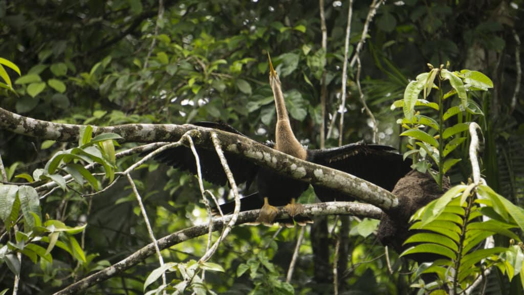 A bird drying its wings out in the Amazon