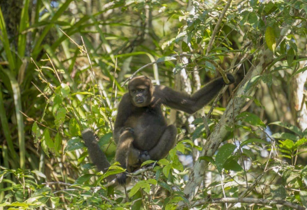monkey in the ecuador amazon
