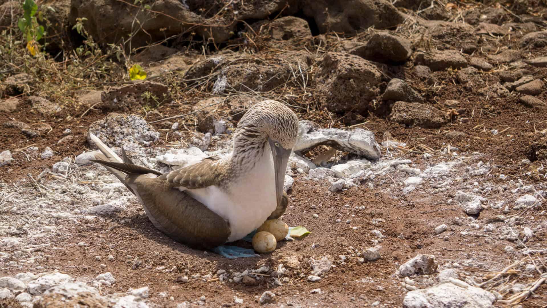 A nesting boobie on Lobo island
