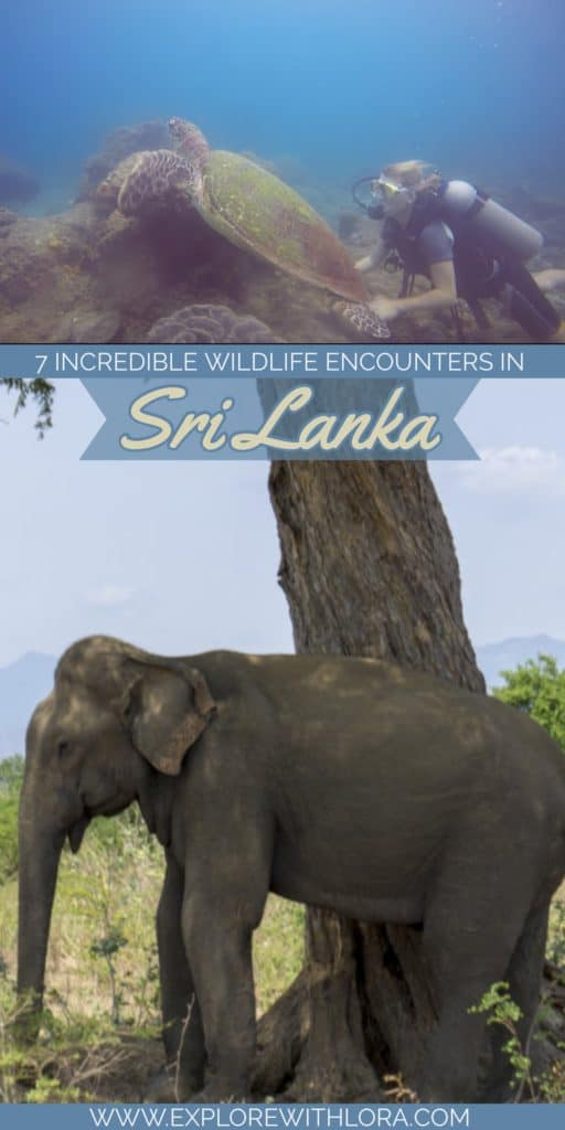 Sri Lanka is a dream destination for animal lovers. From elephant safaris to swimming with blue whales, discover 7 of the best ways to see wildlife in Sri Lanka in this post. #Wildlife #SriLanka #Safari #Elephants #SriLankaWildlife