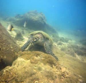 turtle diving in sri lanka