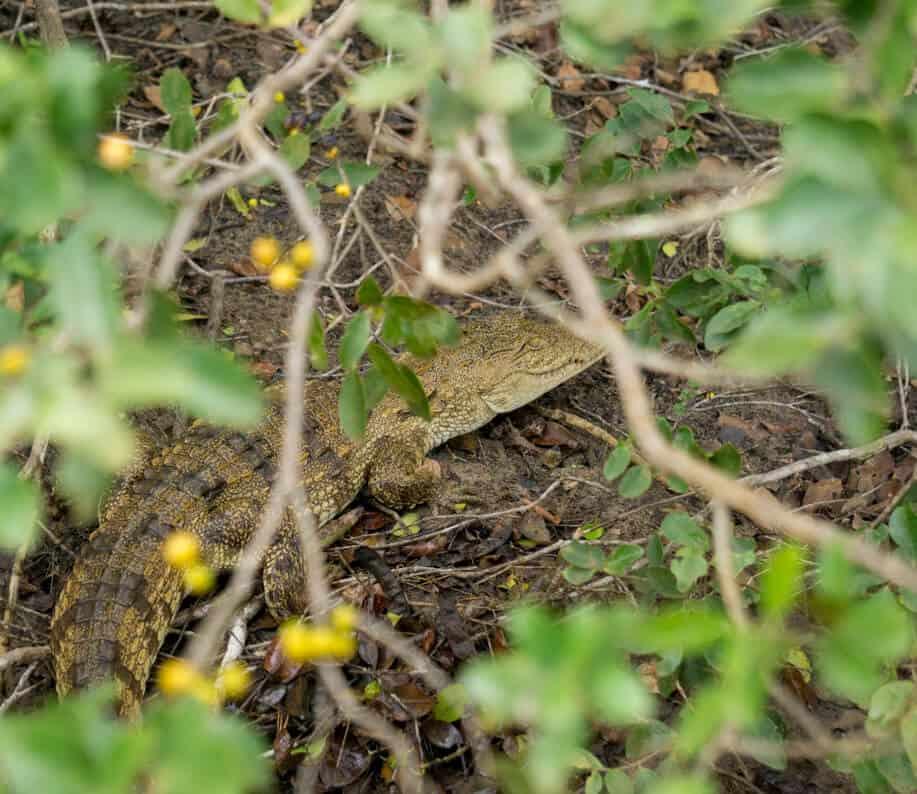 a baby crocodile in n Wilpattu National Park
