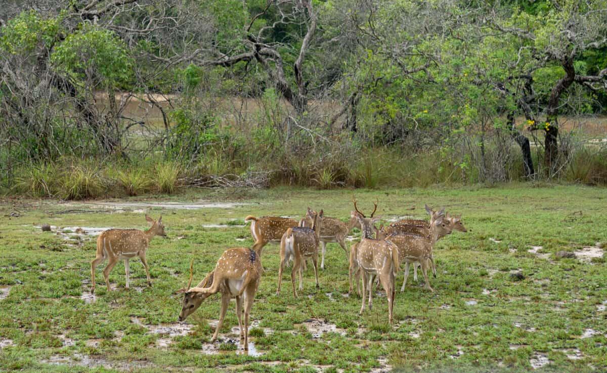 deer in Wilpattu National Park