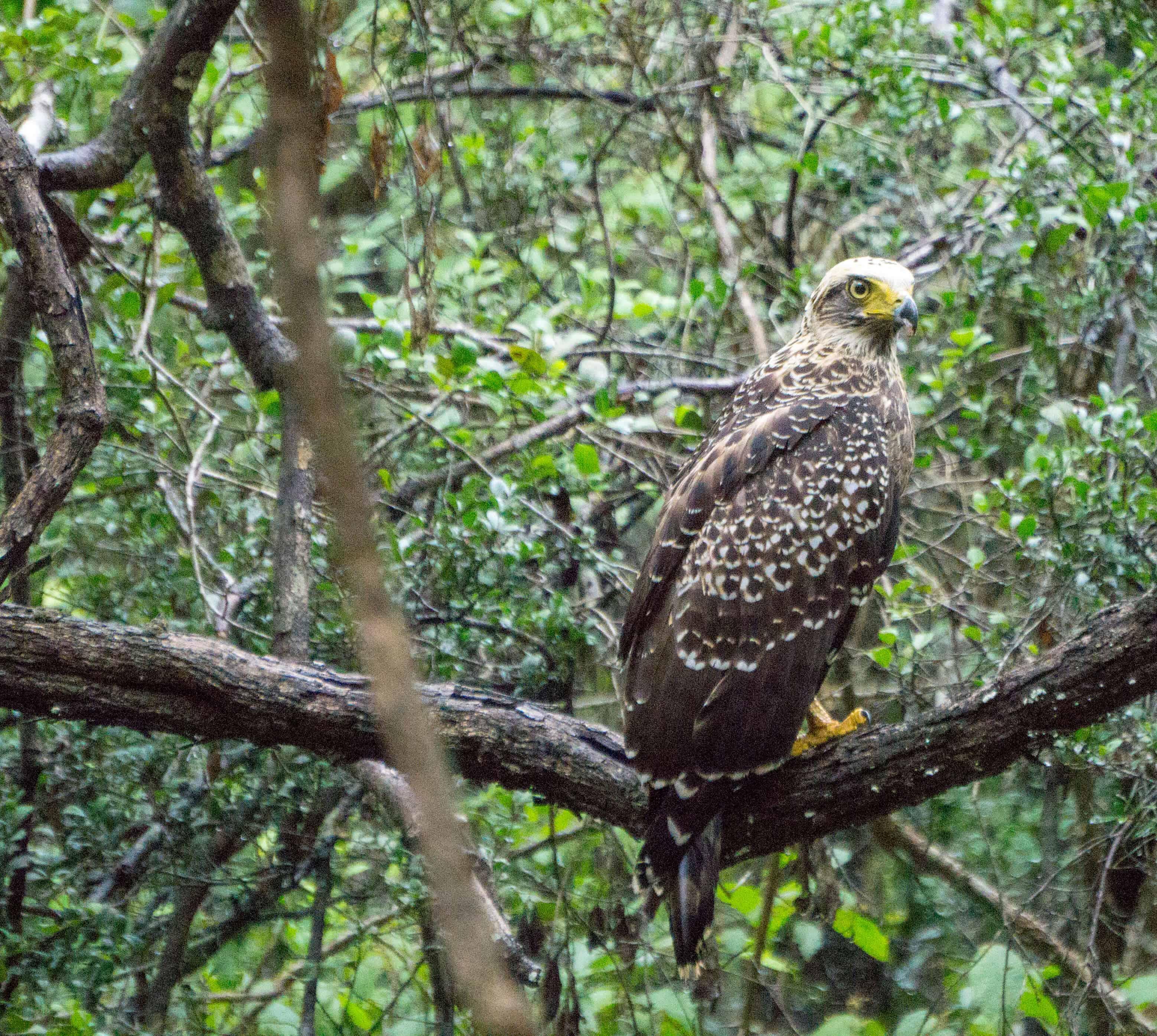 An eagle in n Wilpattu National Park
