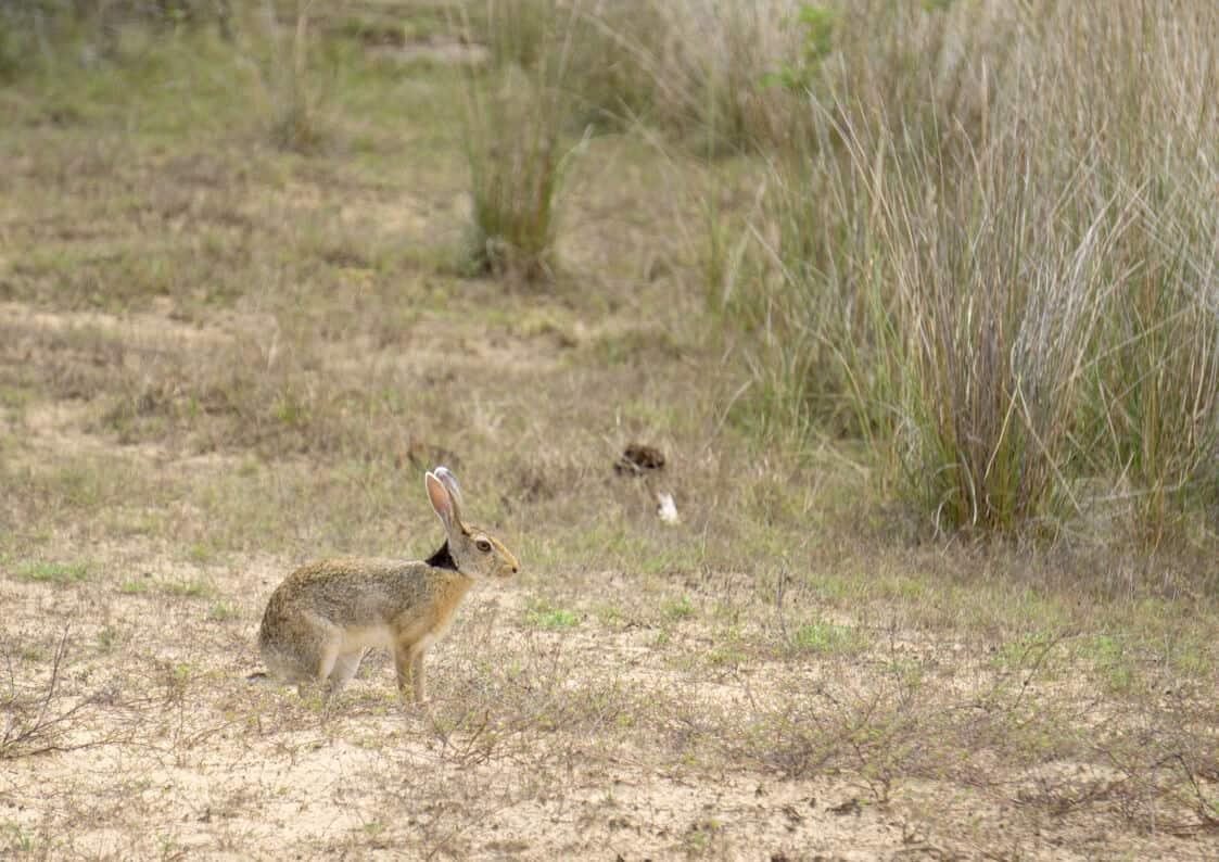 a hare in n Wilpattu National Park