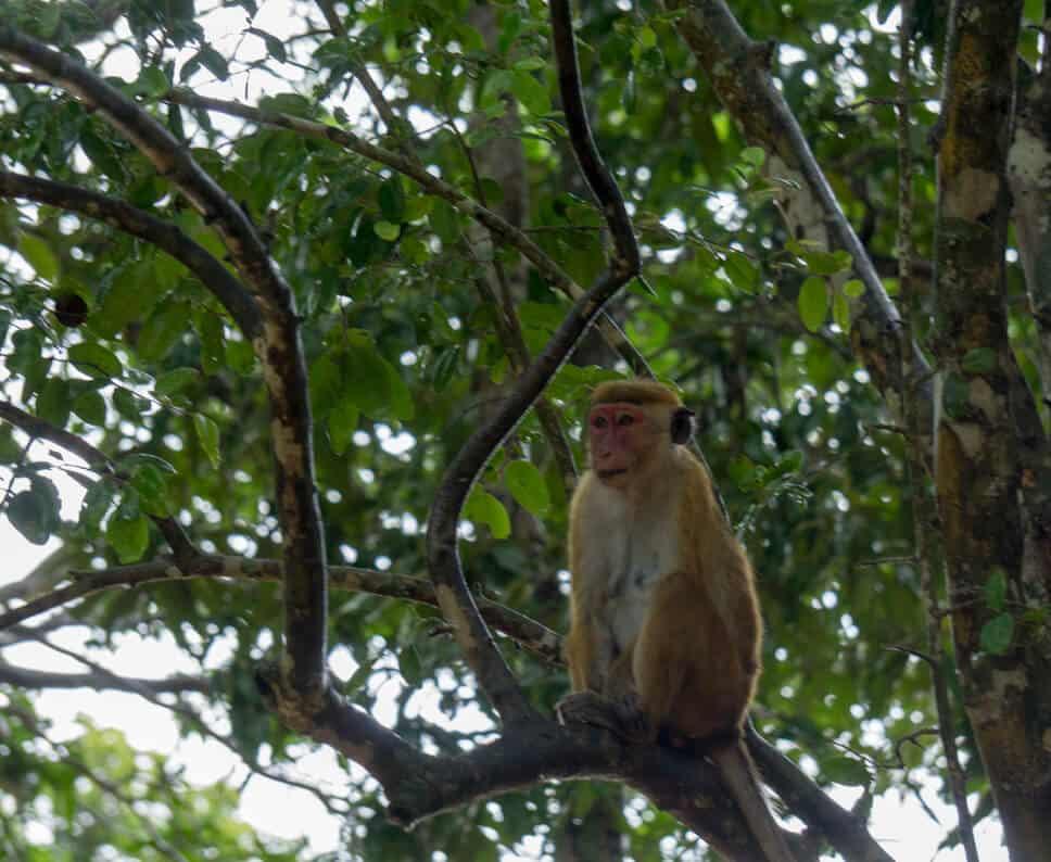 Red faced monkeys