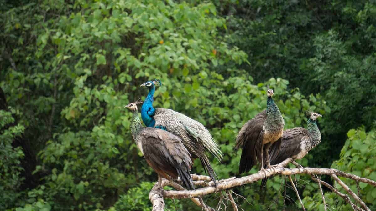 A group of male and female peacocks.