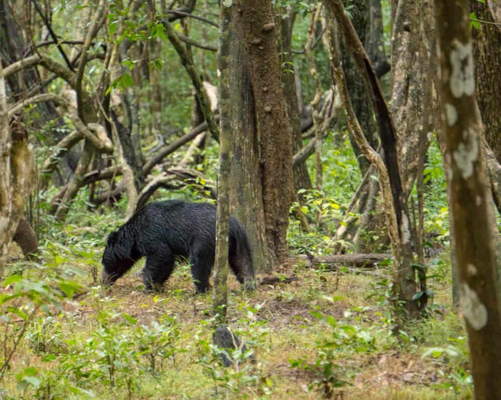 A sloth bear in Wilpattu National Park