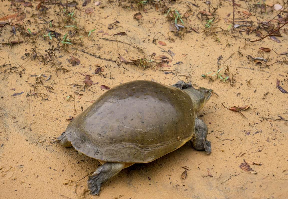 a tortoise in Wilpattu National Park