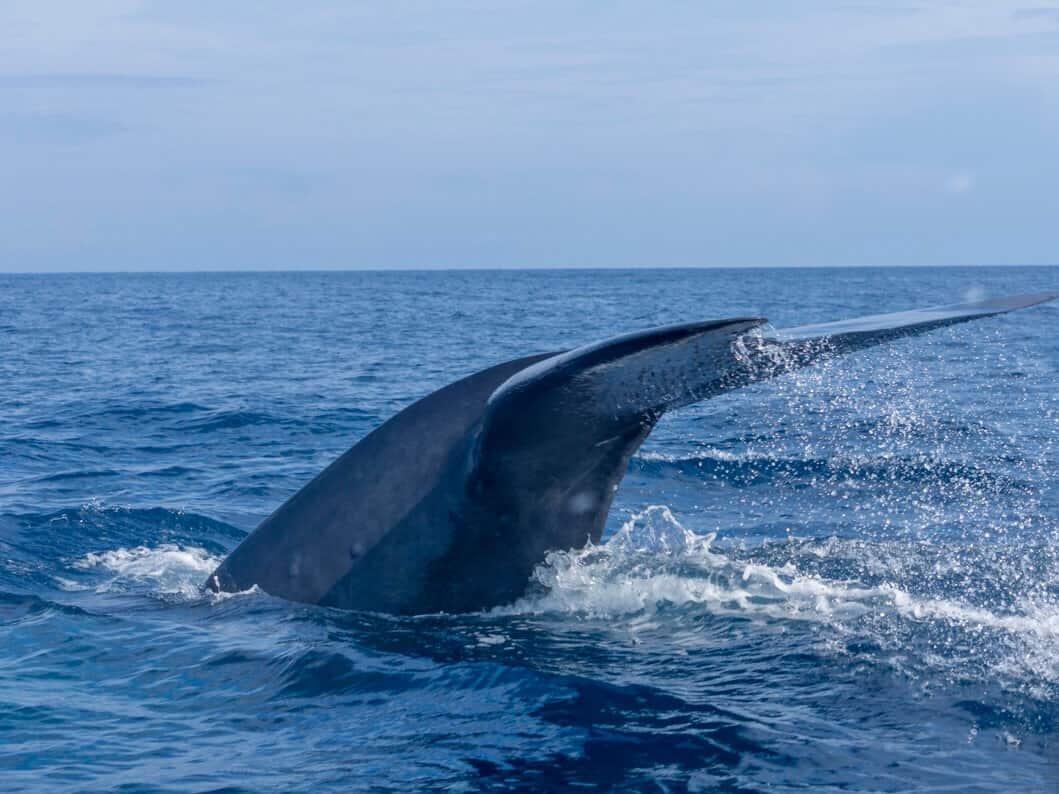 whale safari in Sri Lanka