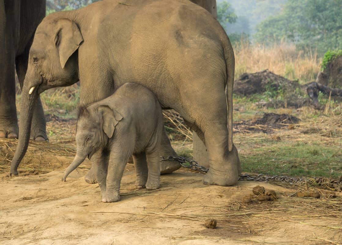 Captive elephants at Chitwan National Park