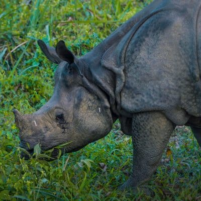Where to see the Greater One-Horned Rhino