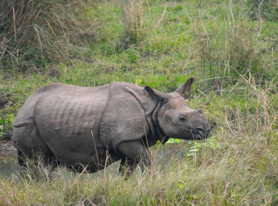 One-horned rhino in Chitwan National Park