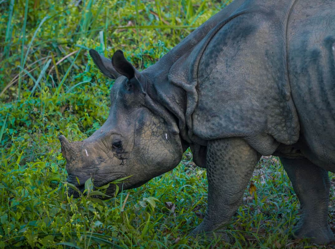 A greater-one horned Rhino in Chitwan National Park