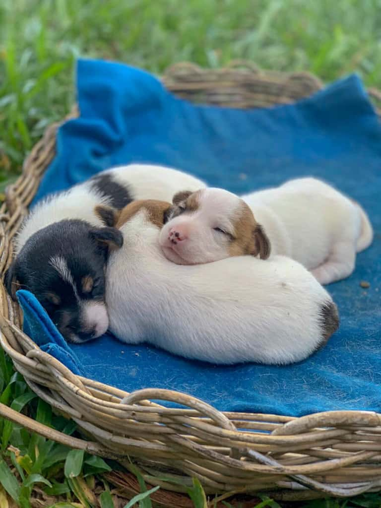 Meeting Jack Russel Terrier Puppies