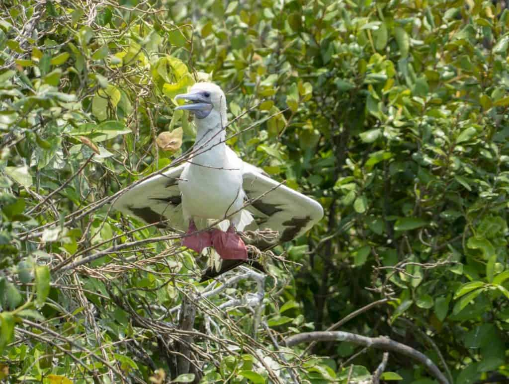 Red-footed boobies on Half Moon Caye