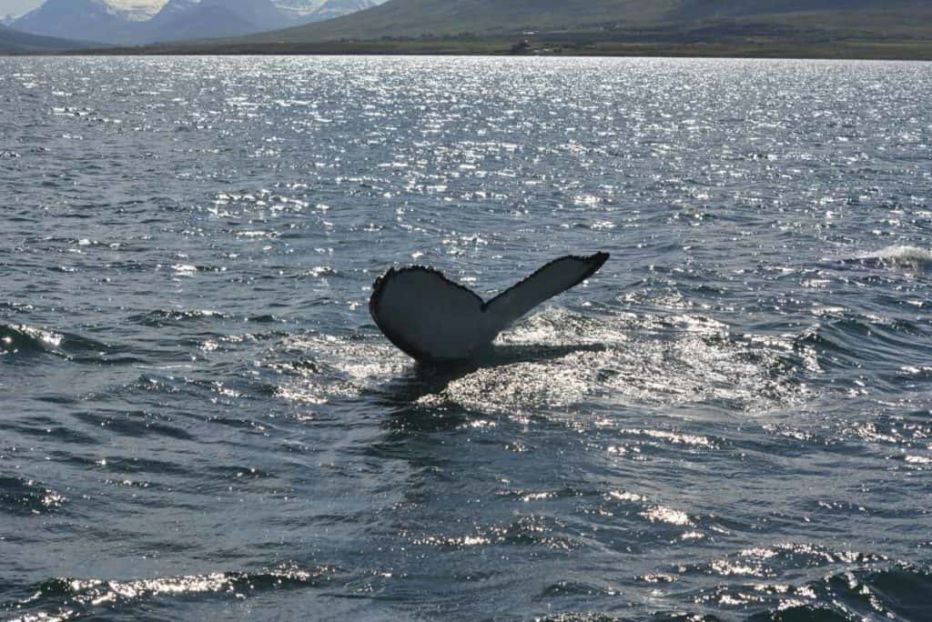 Whale Watching in Dalvik, Iceland
