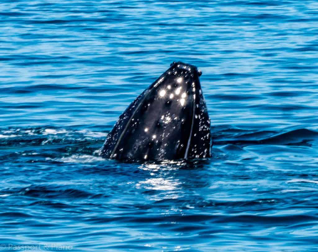 Whale Watching in Hervey Bay, Australia