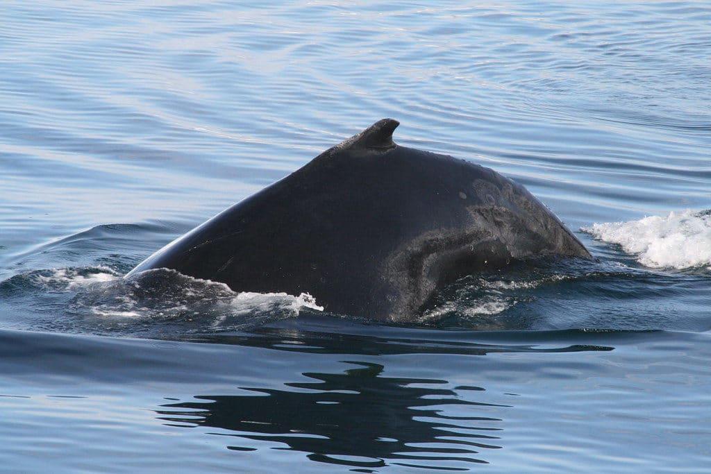 whale watching in Puerto Lopez, Ecuador