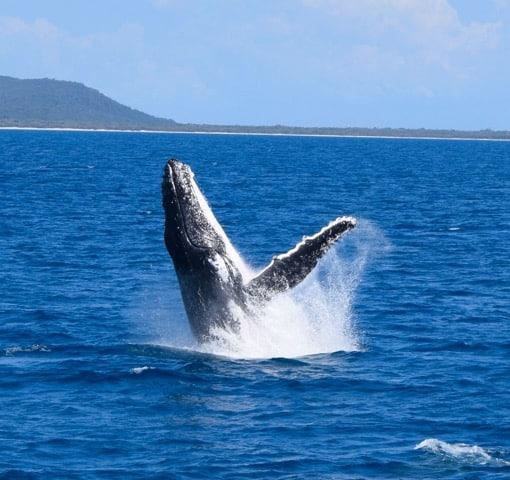 Whale Watching in Moreton Bay, Australia
