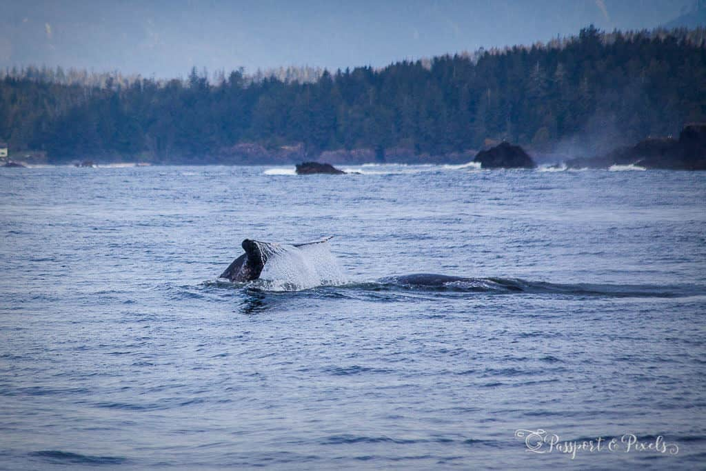 Whale Watching in Vancouver Island, Canada