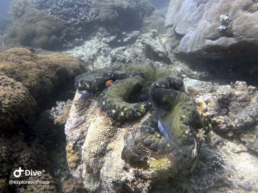 clam at sipadan island