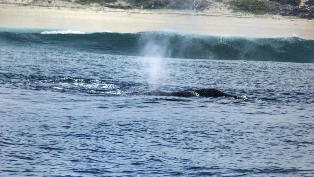 Whale Watching in Plettenburg Bay, South Africa