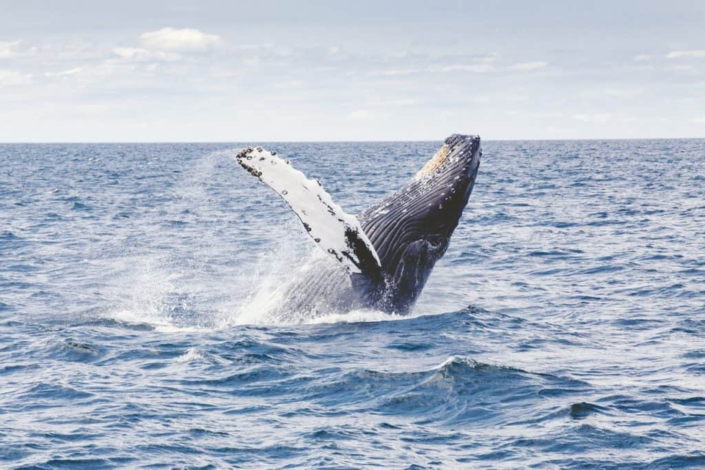 humpbacks whale watching in colombia