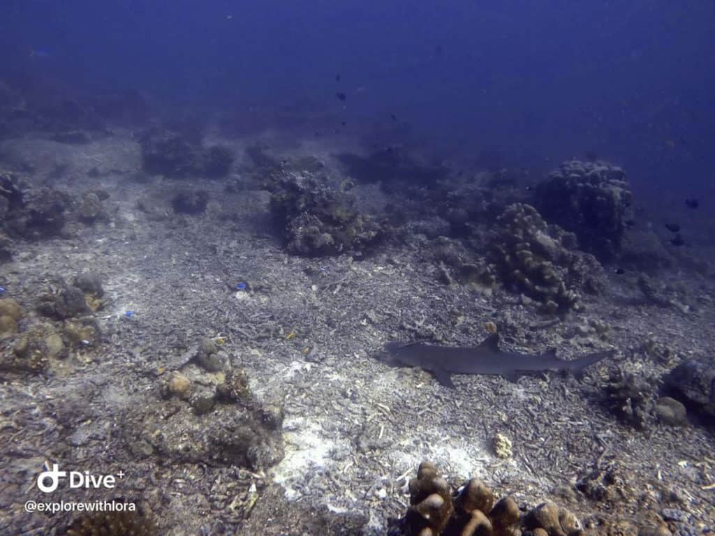 Reef Sharks diving Sipadan